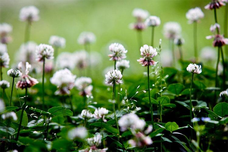 Cỏ ba hoa trắng là một trong những loài thực vật phát triển mạnh nhất và nhanh nhất.