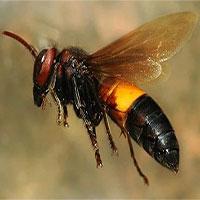 Cách nhận biết ong vò vẽ sát thủ