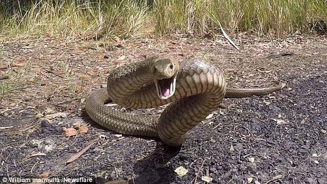 Top 25 loài rắn độc nhất thế giới thì có tới 20 sống ở nước Australia.