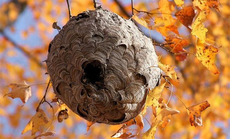 Tổ ong vò vẽ