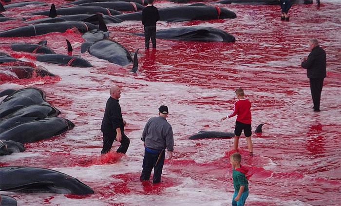 Chính quyền Faroe khẳng định lễ hội này sẽ không bị loại bỏ.
