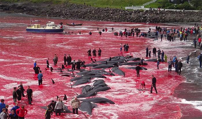 Máu cá voi nhuộm đỏ cả một vùng biển.