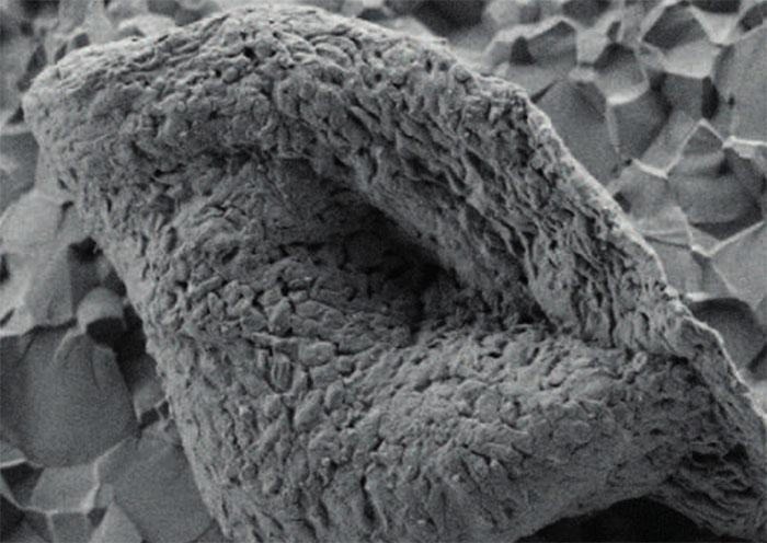 Hóa thạch cổ xưa ở Tây Úc được quan sát qua kính hiển vi