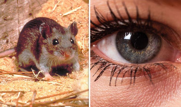Liệu pháp tiêm gene mới giúp khôi phục thị lực ở chuột.