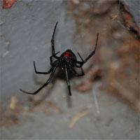 """Loài nhện kịch độc """"Góa phụ đen"""" đang di cư dần sang Bắc Mỹ """