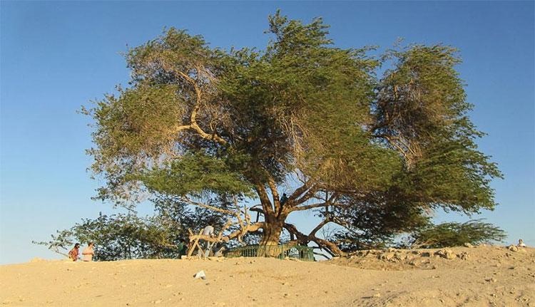 """""""Cây sự sống"""" nổi bật trên sa mạc."""