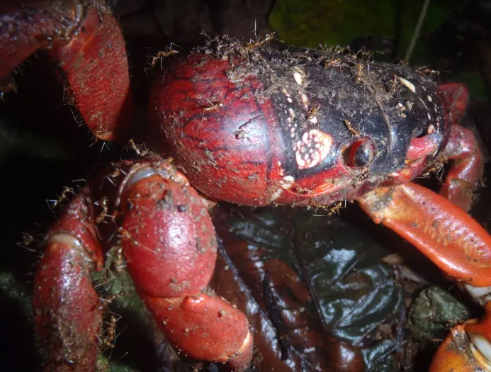 Cua đỏ bị kiến đỏ tấn công.