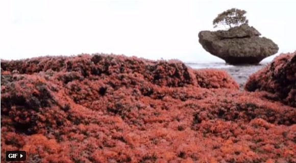 Cua đỏ mới nở, bò lúc nhúc là cảnh tượng cực kỳ hấp dẫn tại đảo Giáng sinh.
