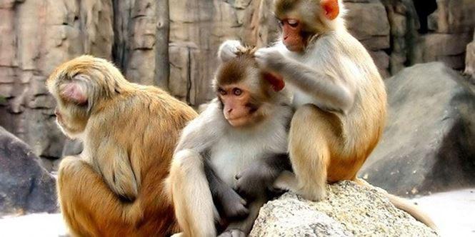 Đa số các loài khỉ đều có thể giao tiếp với nhau bằng cách chép miệng.