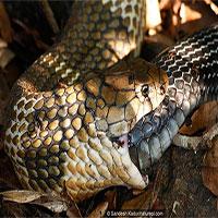 """""""Tự sát"""" bằng cách ăn chính mình - bí ẩn kinh dị ở loài rắn đã có lời giải!"""