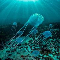 Sứa thống trị biển cả bằng cách nào khi không có não?