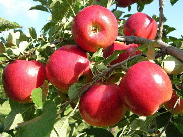 Hợp chất triterpenoids được tìm thấy trong vỏ táo có khả năng tiêu diệt các tế bào ung thư.