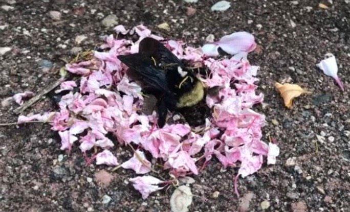 Ong nghệ đã chết và lũ kiến mang cánh hoa tới rải xung quanh.