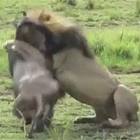 Tấn công sư tử, linh dương đầu bò trả giá bằng cả tính mạng