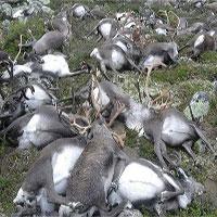 Giải mã hiệu ứng lạ đằng sau sự kiện 300 con tuần lộc chết tập thể ở Na Uy
