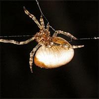 """Loài nhện """"quăng tơ"""" bắt mồi y hệt như cao bồi miền viễn tây"""