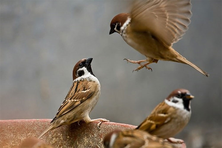 Chim sẻ trở nên rất phổ biến trong những làng mạc, thành phố.
