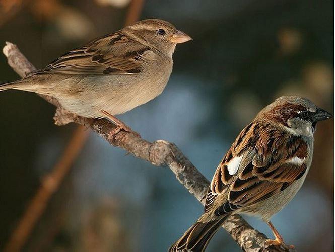 Chim sẻ có mầu lông nâu, xám đặc trưng.