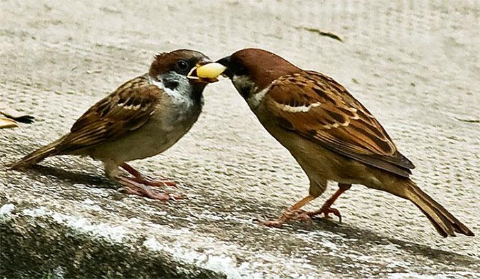 Chim sẽ cũng có thể tiêu hóa tinh bột.