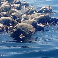 Phát hiện hàng trăm rùa biển Golfinas chết trôi tại bờ biển Mexico