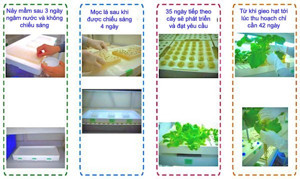Thời gian biểu trồng rau diếp trong Agri-Cube