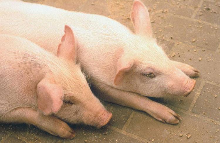 Dịch bênh lây lan do vận chuyển các sản phẩm từ thịt lợn chứ không phải do vận chuyển lợn sống.