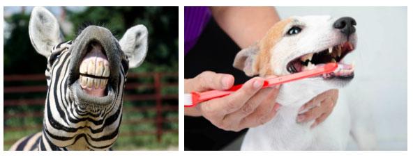 Động vật nuôi trong nhà dễ bị bệnh răng miệng hơn động vật hoang dã.