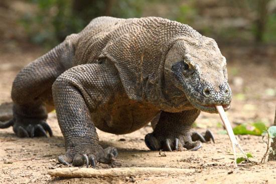 Rồng Komodo là loài thằn lằn lớn nhất trên thế giới hiện nay chỉ sinh sống tại Indonesia.