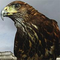 """Bí mật bất ngờ biến chim ưng thành loài săn mồi """"đỉnh"""" nhất thế giới"""