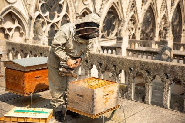 Chăm sóc tổ ong giữa những mái vòm cao ngất.