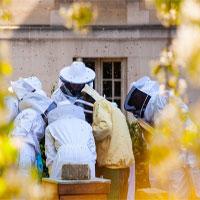Vì sao người Paris nuôi ong lấy mật trên mái vòm những tòa nhà?