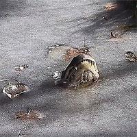 Những động vật có thể hồi sinh sau khi đông lạnh xác