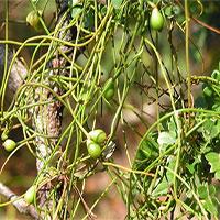 Hãi hùng cây tơ xanh biến ong bắp cày thành xác ướp