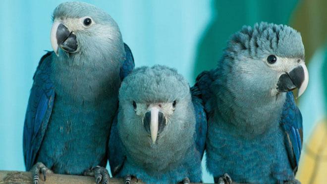 Loài vẹt Spix của Blu từng bị săn đuổi rất nhiều khoảng 150 năm trước.