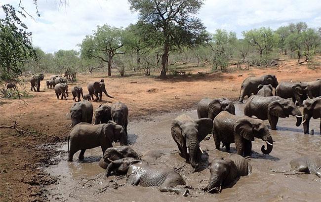 Những con voi châu Phi trong một vũng nước tại công viên quốc gia Kruger.