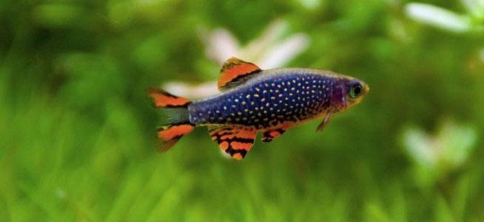 Trong tự nhiên, cá galaxy thường sống trong các ao nhỏ được tạo ra bởi nước ngầm hoặc các dòng nhỏ chảy ra từ suối.