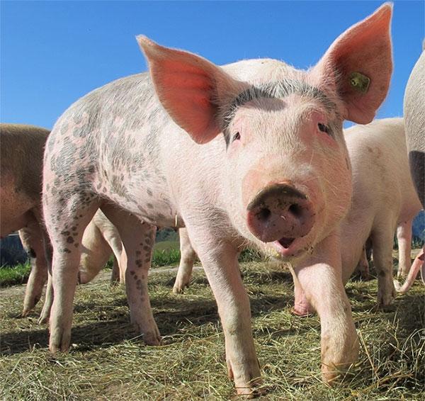 Lợn không tiết ra mồ hôi.