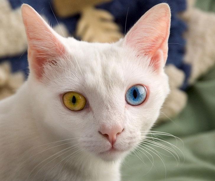 Một số con mèo bị dị ứng với loài người.