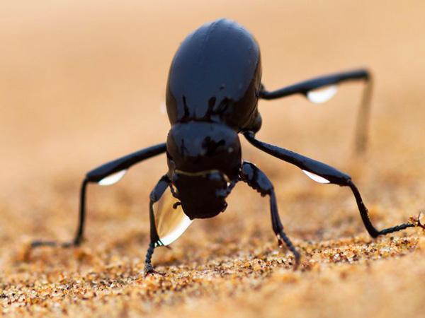 Loài bọ cánh cứng Namib Desert