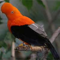 Vẻ đẹp của loài chim được chọn là quốc điểu của Peru