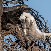 Đại bàng mẹ trơ mắt nhìn lửng mật bắt chim con