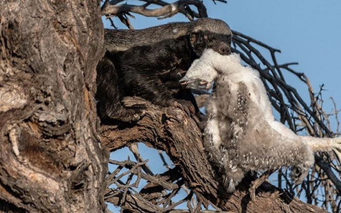 Lửng mật ngoạm xác đại bàng con trên cây.