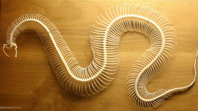 Số lượng xương rắn có thể lên tới 400 cái hoặc nhiều hơn.
