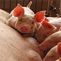 Dịch tả lợn đe dọa châu Á