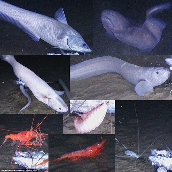 Loài cá này tan chảy nếu được đưa lên bờ vì chênh lệch áp suất.