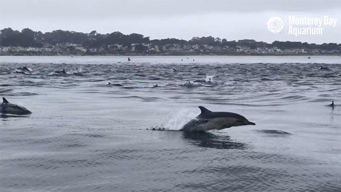 Rất hiếm khi chúng bơi thành đàn lớn để săn mồi như này.