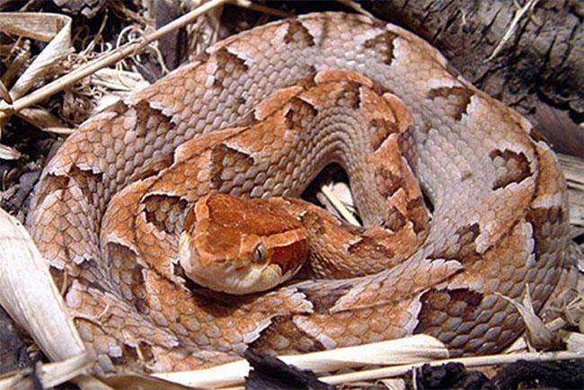 Loại rắn này lưng có hoa văn hình tam giác màu xám nâu nhạt.
