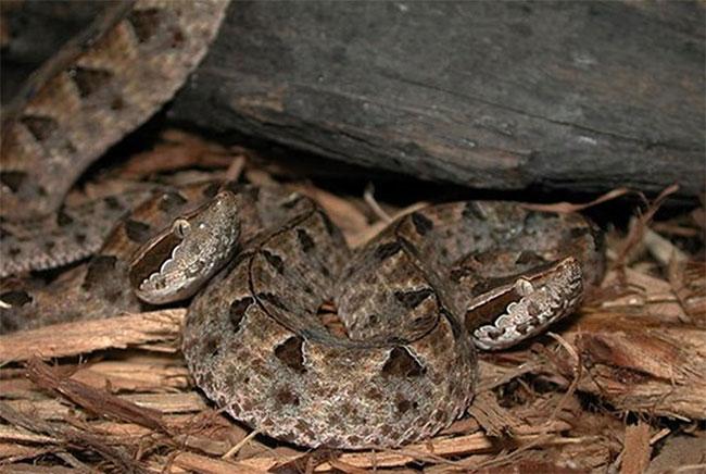 Rắn Chàm Quạp là loại rắn đặc biệt nguy hiểm vì nó là một trong những loại rắn độc nhất Việt Nam.