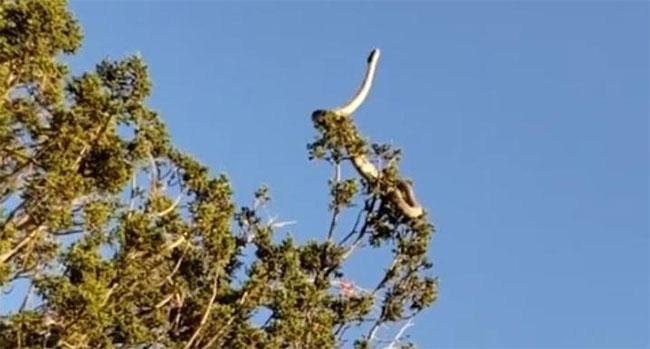 Rắn bò trườn trên ngọn cây chênh vênh như xiếc.