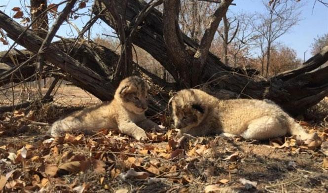 Hai con sư tử rất đáng yêu.